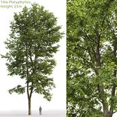 Large-leaved linden | Tilia platyphyllos # 9 (23m)