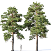 Pinus sylvestris Nr16 H12- 14m Two tree set