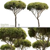 Сосна Итальянская Пиния | Pinus Pinea #3(13.5-14.2m)