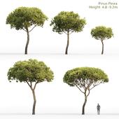 Сосна Итальянская Пиния | Pinus Pinea #4(4.8-9.2m)