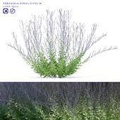 Перовския лебедолистная | Perovskia atriplicifolia Little Spire