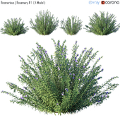 Rosmarinus | Rosemary # 1  ( 4 Model )