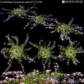 Convolvulaceae | Ipomoea pes-caprae # 1 ( 3 model)