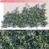 Trachelospermum Jasminoides | Star Jasmine on wall