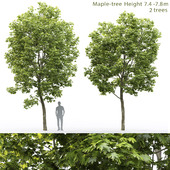Клён | Maple #12 (7.4-7.8m)
