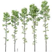 Tilia europaea # 9. H19-27m. Five forest trees