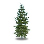Ель обыкновенная / Picea Abies