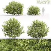 Willow Mirzinolistnaya   Salix myrsinifolia # 1 (2.3-4.5m)