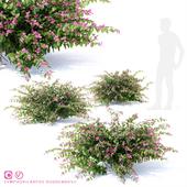 Снежноягодник доренбоза куст| Symphoricarpos doorenbosii