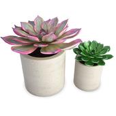 Aeonium Succulent Plants