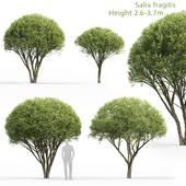 Ива ломкая   Salix fragilis #1 (2.6-3.7m)