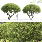Willow fragile | Salix fragilis # 2 (4.3-4-5m)