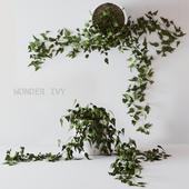 Wonder ivy