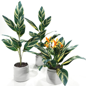 Kanna plant set
