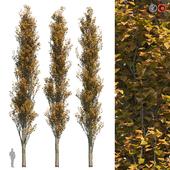 Poplar Pyramidal 15m Autumn