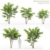 Акация   Robinia Pceudoacacia #7 (2.5-3.5m)