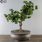 Bonsai broadleaf tree