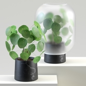 Nebl | Chinese golden tree | Pilea peperomioides