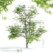 Maple tree Manchu   Acer mandschuricum v2