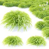 Хаконехлоя тощая трава   Hakonechloa macra