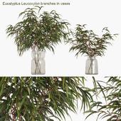 Eucalyptus Leucoxylon branches in vases