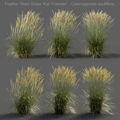 Feather Reed Grass - Calamagrostis acutiflora - Medium