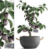 Decorative pepper. Plants 389.
