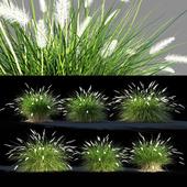 Pennisetum setaceum grass