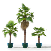 Washingtonia robusta set