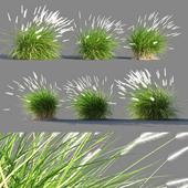Pennisetum setaceum grass 2