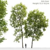 Ясень | Ash-tree #2 (15.5-18.2m)