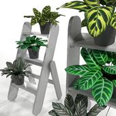 Kalatea plants set