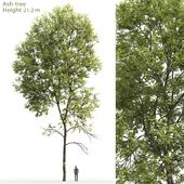 Ясень | Ash-tree #5 (21.2m)