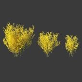 Форзиция средняя/Forsythia intermedia