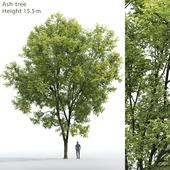 Ясень   Ash-tree #7 (15.5m)