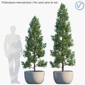 Plant in pots # 32: Yew plum pine