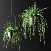 Свисающие растения в подвесных кашпо | Hanged Plants set in hanging planters