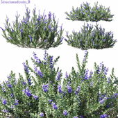 Salvia chamaedryoides 01