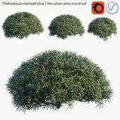 Podocarpus macrophyllus   Yew plum pine round cut