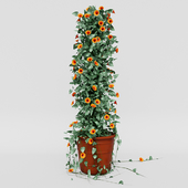 Thunbergia alata ivy in pot