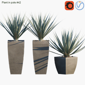 Plant in pots # 42: Agave