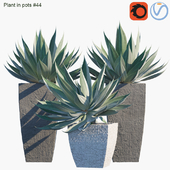 Plant in pots # 44: Agave