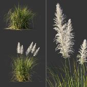 Cortaderia dioecious / Cortaderia selloana