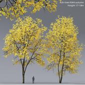 Ясень осенний   Ash-tree autumn #3_4 (17-18m)
