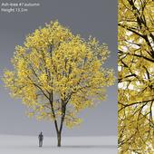 Ясень осенний   Ash-tree autumn #7 (15.5m)