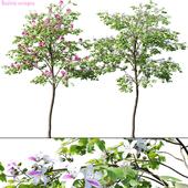 Bauhinia variegata #1