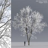 Ясень зимний   Ash-tree winter #7 (15.5m)