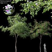 Bauhinia variegata #2