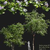 Bauhinia variegata # 1