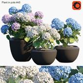 Plant in pots #45 : Hydangea